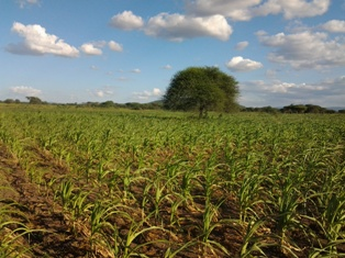 Drought resistant maize trial